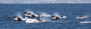A pod of six Orcas crest in Puget Sound