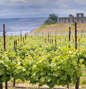 A vineyard spreads out toward the Columbia River at Maryhill