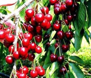 A tree branch filled with ripe cherries