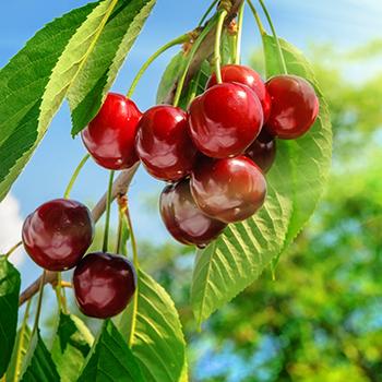 Washington Cherry harvest