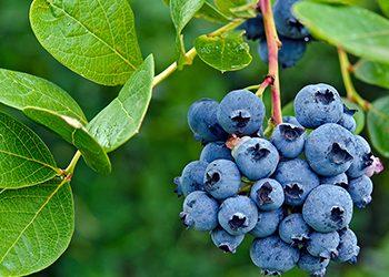 Washington leads blueberry production.