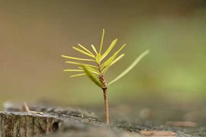 A small fir seedling takes root in a replanted forest.
