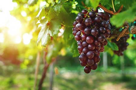 Grapes ripen in the sun in a Washington State vineyard.