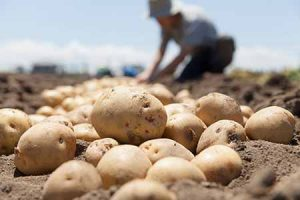 A farmer harvests potatoes in a field.