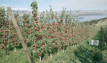 Apple orchards are ready for robots to start harvesting apples this fall.