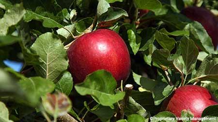 A Cosmic Crisp apple ripens in the midday sun.